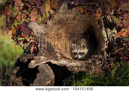 Raccoon (Procyon lotor) Huddles Inside Log - captive animal