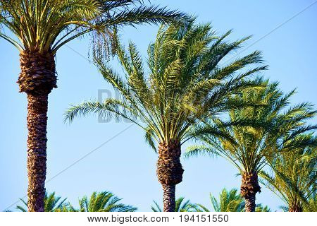 Lush green landscaping including a row of Palm Trees taken in a desert community