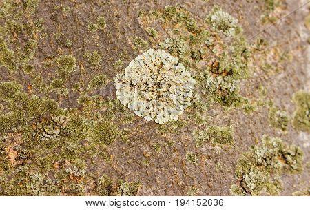 one big white tree lichen in between small green lichens