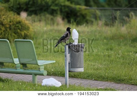 A black bird in a big city is looking for food in a dumpster