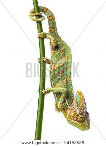 green chameleon - Chamaeleo calyptratus - male on a branch