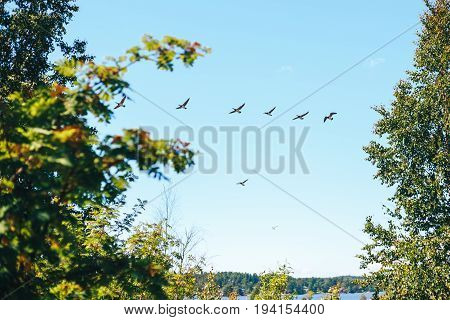 a flight of barnacle geese. Birds flying over the earth
