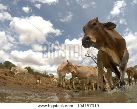 Ranch-reared lean beef cattle