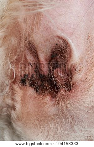 Close-up of dirty dog ear. Red animal ear with infection