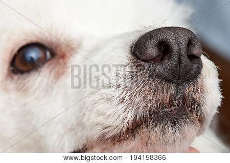 Close-up of poodle dog nose. Macro of wet dog nose