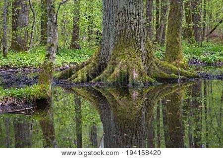 Old giant oak tree reflecting in water in spring, Bialowieza Forest, Poland, Europe