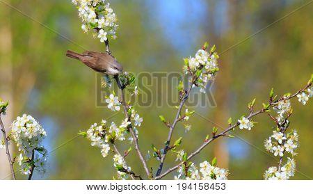 Llesser whitethroat (Sylvia curruca) and flowering fruit tree in spring, Podlasie, Poland, Europe