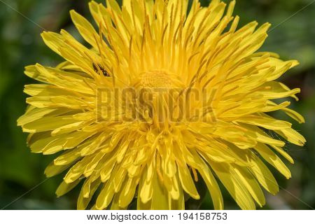 Common Dandelion(Taraxacum officinale) head in full bloom closeup