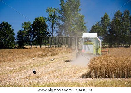 Combine harvesting rapeseed field. Few storks eating the grains.