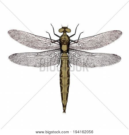 Orthetrum dragonfly female isolated in white background - 3D render