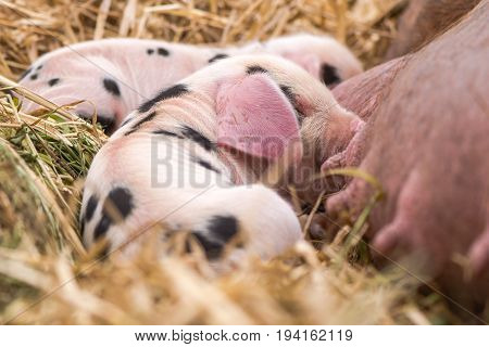 Oxford Sandy and Black piglets suckling. Four day old domestic pigs outdoors with black spots on pink skin
