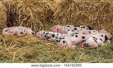 Oxford Sandy and Black piglets asleep. Four day old domestic pigs outdoors with black spots on pink skin