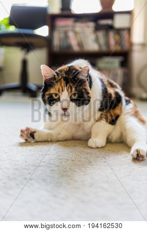 Closeup of angry calico cat grooming itself showing flexibility