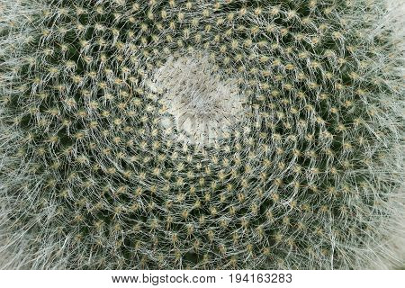 The barbed crown cactus Mammillaria as a background