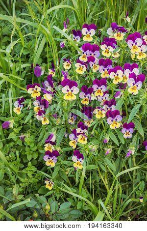 Flowers Viola In The Meadow