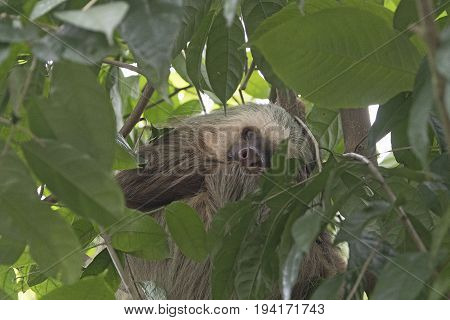 Sleeping Sloth in a Rainforest Tree in Costa Rica