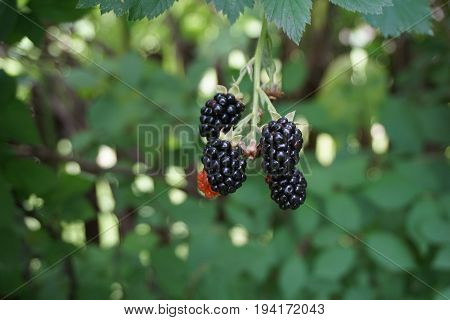 Blackberries ripen on a thornless blackberry plant in a garden in Joliet, Illinois during August.
