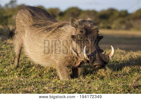 Male warthog with large dangerous tusks and snout