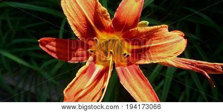 Lily flower, flower Lily. Natural background. Lily.  Floral print. Floral background.