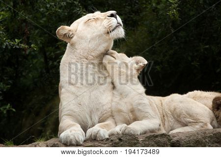 Female white lion with two newborn lion cubs. The white lions are a colour mutation of the Transvaal lion (Panthera leo krugeri), also known as the Southeast African or Kalahari lion.