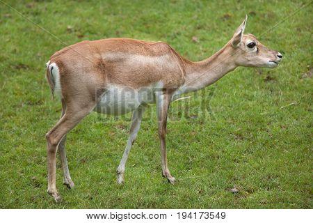 Indian blackbuck (Antilope cervicapra). Wildlife animal.