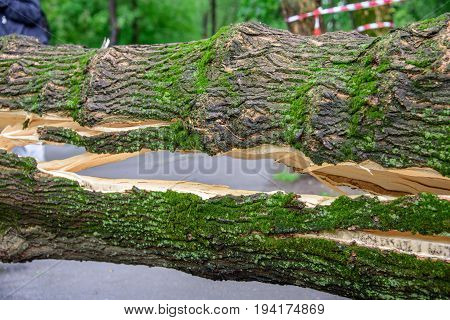 A huge crack in a tree covered with moss fallen across the road as a result of the severe hurricane winds in one of courtyards of Moscow city
