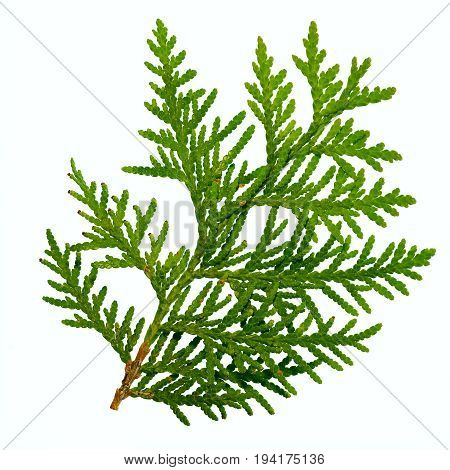 one thuja branch isolated on white background