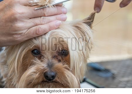 Closeup view of grooming Yorkshire terrier standing on the grooming table. Dog is looking at the camera.