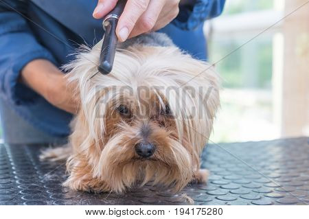 Combing the head of Yorkshire terrier standing on the grooming table. Dog is looking forward.
