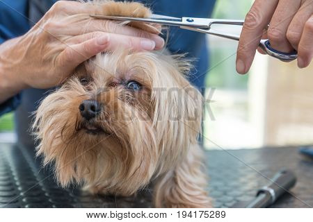 Closeup front view of grooming the head of Yorkshire terrier. Dog is looking at the camera.