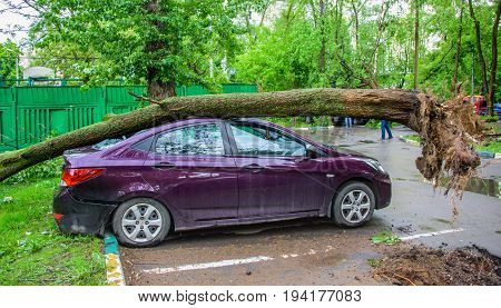 Gigantic fallen toppled tree, covered with moss and with huge roots, crushed parked purple car and broke the window as a result of the severe hurricane winds in one of courtyards of Moscow city