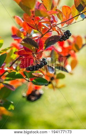 rupe black ash berries with colorful autumn leaves