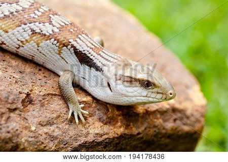 Young Blue Tongue Lizard on rock outdoors