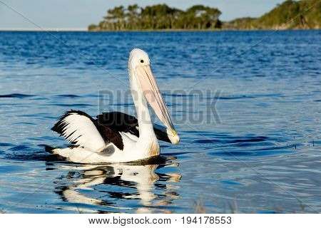 Large Pelican Swiming On Lake