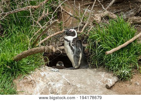 African Penguins (lat. Spheniscus Demersus) In Front Of A Nest
