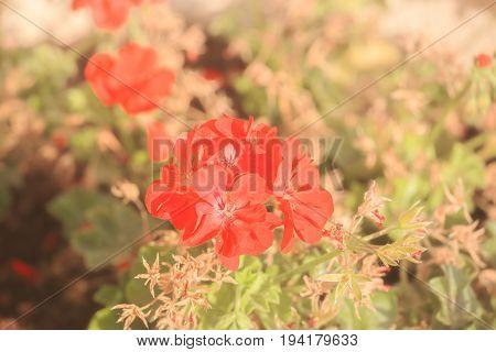 Red Geranium Flowers At Sunlit