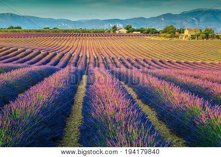 Breathtaking violet lavender fields near Valensole village Provence region France Europe