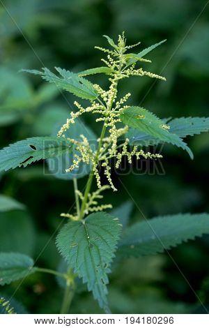 Stinging Nettle. Green Flowering Plant On A Dark Background