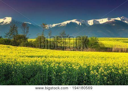 Amazing snowy mountains with spectacular rapeseed field in Transylvania Fagaras mountains Carpathians Romania Europe