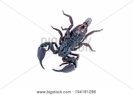 top view scorpion on white background. Giant forest scorpion species found in tropical and subtropical areas in Asia.