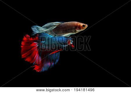 fighting of two fish on black background. siamese fighting fish Betta fish