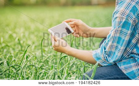 farmer using the mobile phone technology to inspecting garlic in agricultural garden. Plant growth.