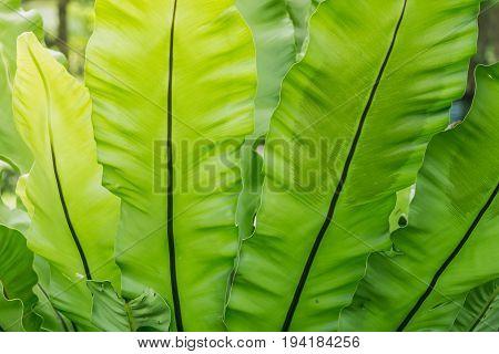 close up green Aspleniaceae background. Asplenium nidus.