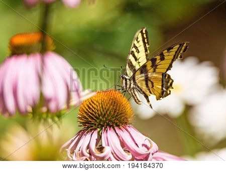 A yellow and black monarch butterfly drinks nectar from a flower.