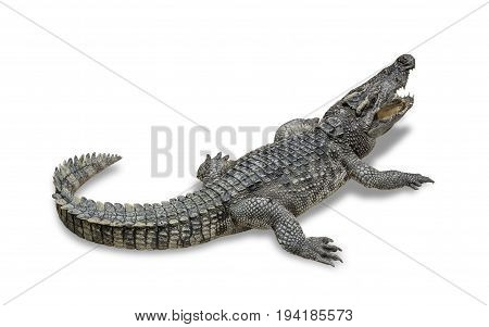 freshwater crocodile isolated on white background. File contains a clipping path.