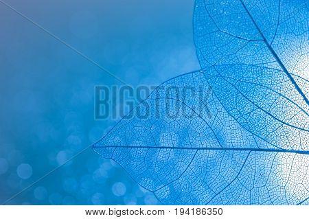 Transparent skeleton leaves closeup of blue color with Boke. Beautiful artistic image. Skeletal leaves.