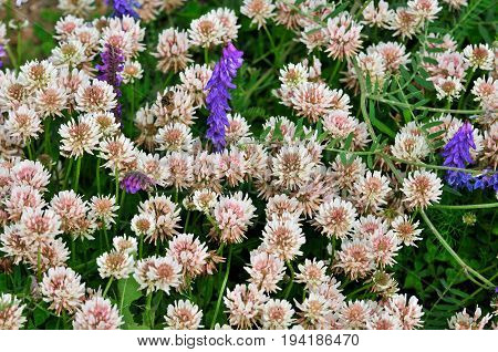 White clover or trefoil are common names for plants of the genus Trifolium.
