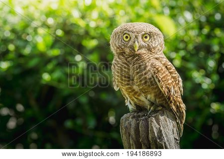 collared owlet (Glaucidium brodiei) standing on Stump in the morning