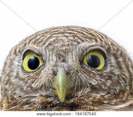 macro close up face of collared owlet on white background (Glaucidium brodiei)