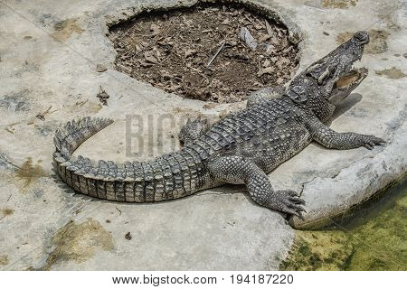 Close up freshwater crocodile on the floor cement